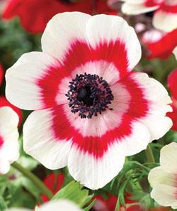 Anemone Coronaria Bicolor